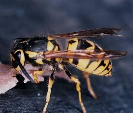 C:\Documents and Settings\user\Мои документы\документы\Школьные предметы\Биология\пчелы и муравьи\00015871.jpg