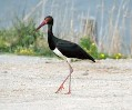 http://go.mail.ru/imgpreview?key=http%3A//ornithologist.ru/foto/c.nigra.jpg&mb=imgdb_preview_48&q=90&w=119