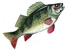 D:\Копилка\Наработки\Звуковка\Звук Р\Карточки\рыба.jpg