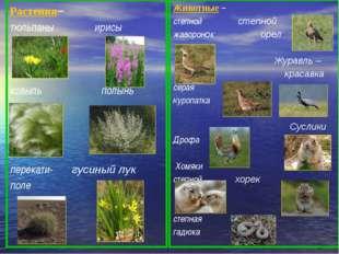 Растения– тюльпаны ирисы ковыль полынь типчак перекати- гусиный лук поле Жив