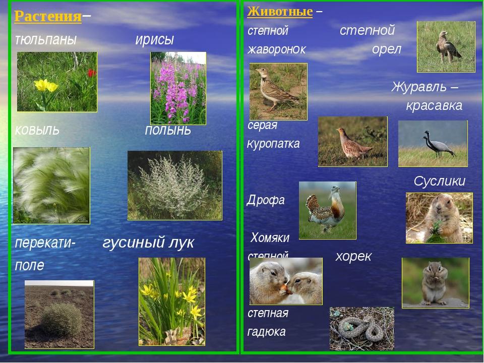 Растения– тюльпаны ирисы ковыль полынь типчак перекати- гусиный лук поле Жив...