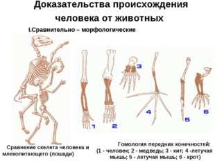 Доказательства происхождения человека от животных Сравнительно – морфологичес