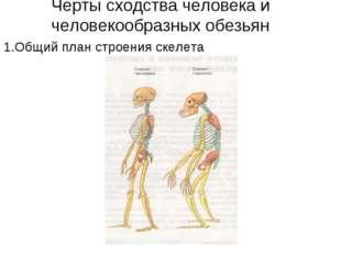Черты сходства человека и человекообразных обезьян 1.Общий план строения скел