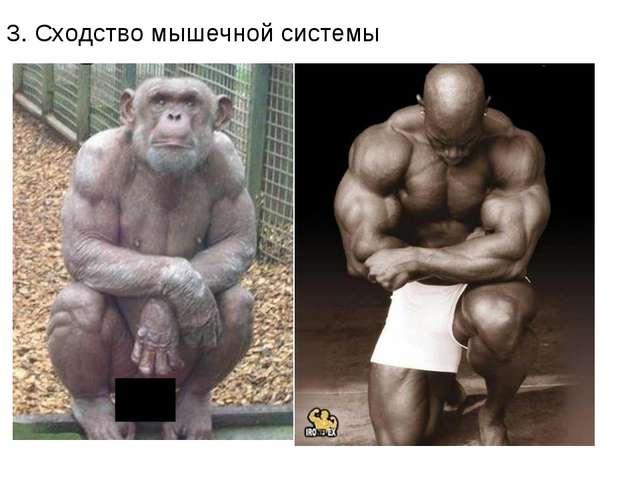 3. Сходство мышечной системы