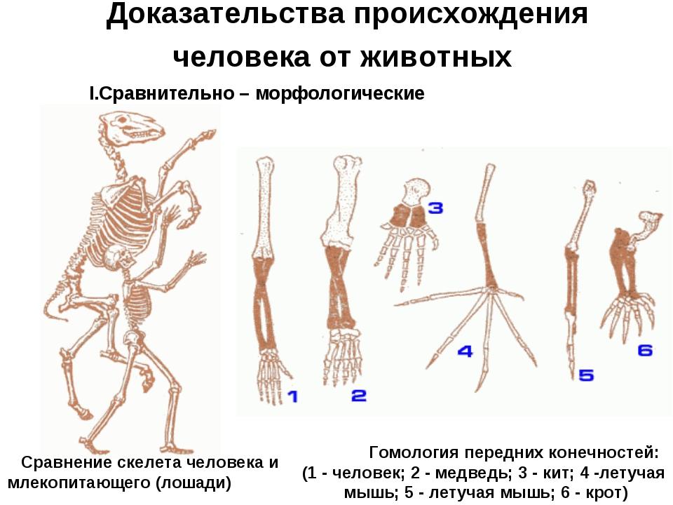 Доказательства происхождения человека от животных Сравнительно – морфологичес...