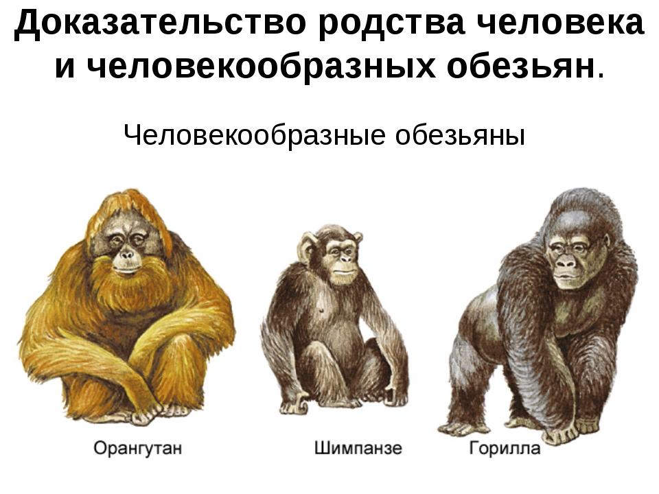 Доказательство родства человека и человекообразных обезьян. Человекообразные...