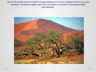 Листья большинства растений пустыни покрыты густыми серебристыми волосками (п