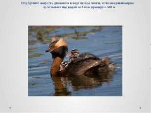 Определите скорость движения в воде птицы чомги, если она равномерно проплыва