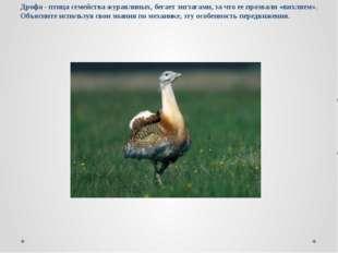 Дрофа - птица семейства журавлиных, бегает зигзагами, за что ее прозвали «вих