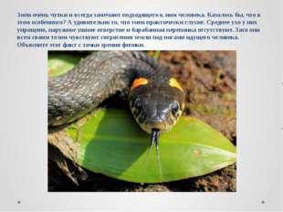 Змеи очень чутки и всегда замечают подходящего к ним человека. Казалось бы, ч