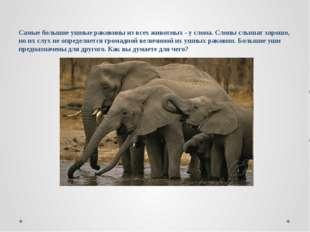 Самые большие ушные раковины из всех животных - у слона. Слоны слышат хорошо,