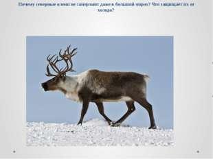 Почему северные олени не замерзают даже в большой мороз? Что защищает их от х
