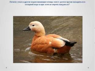 Почему утки и другие водоплавающие птицы могут долгое время находиться в холо