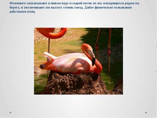 Фламинго захватывают клювом воду и сырой песок из ям, находящихся рядом на бе...