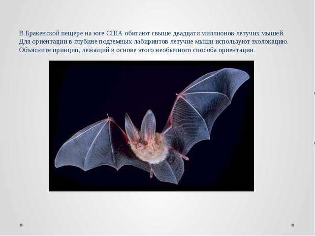 В Бракенской пещере на юге США обитают свыше двадцати миллионов летучих мышей...