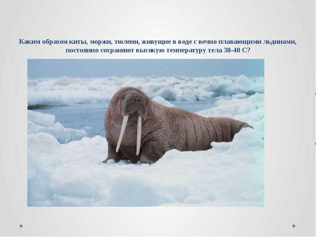 Каким образом киты, моржи, тюлени, живущие в воде с вечно плавающими льдинами...