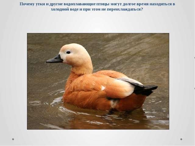 Почему утки и другие водоплавающие птицы могут долгое время находиться в холо...