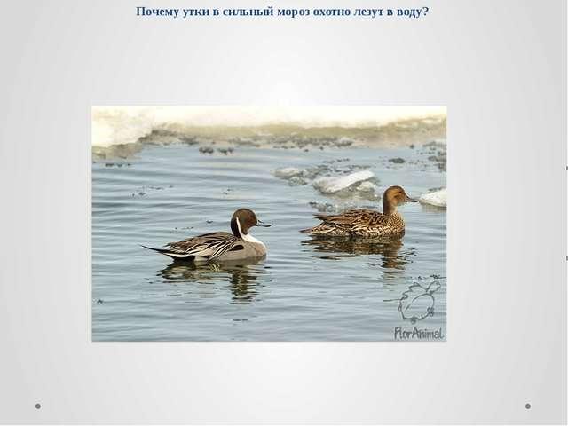 Почему утки в сильный мороз охотно лезут в воду?
