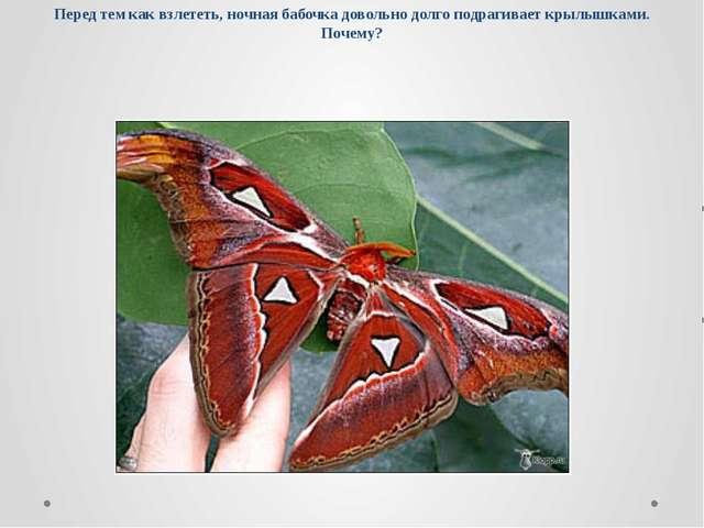 Перед тем как взлететь, ночная бабочка довольно долго подрагивает крылышками....