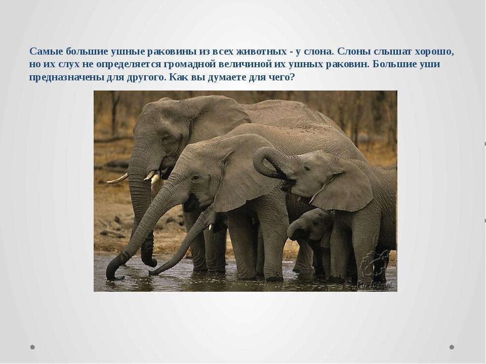 Самые большие ушные раковины из всех животных - у слона. Слоны слышат хорошо,...