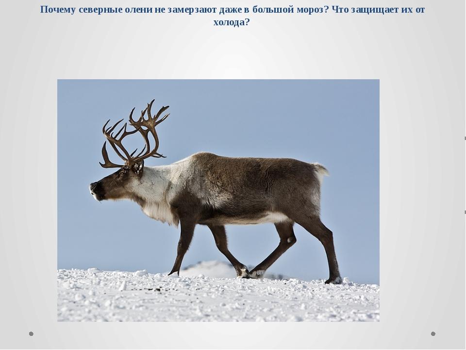Почему северные олени не замерзают даже в большой мороз? Что защищает их от х...