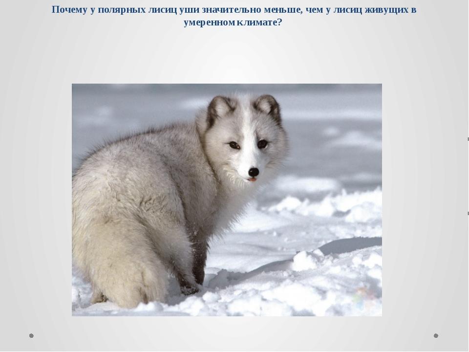Почему у полярных лисиц уши значительно меньше, чем у лисиц живущих в умеренн...