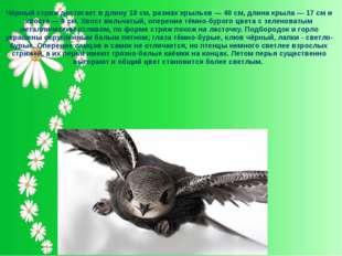 Чёрный стриж достигает в длину 18 см, размах крыльев — 40 см, длина крыла — 1