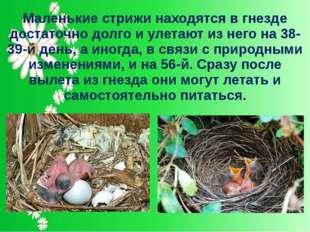 Маленькие стрижи находятся в гнезде достаточно долго и улетают из него на 38-
