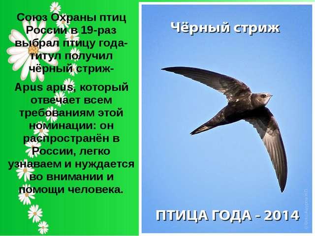 Союз Охраны птиц России в 19-раз выбрал птицу года-титул получил чёрный стриж...
