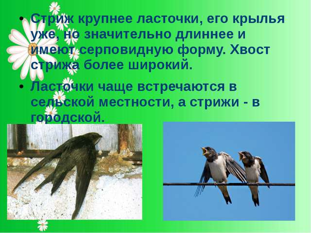 Стриж крупнее ласточки, его крылья уже, но значительно длиннее и имеют серпов...
