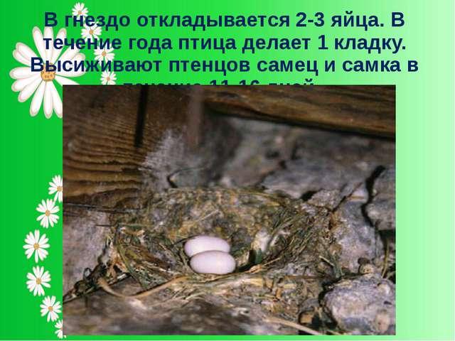 В гнездо откладывается 2-3 яйца. В течение года птица делает 1 кладку. Высижи...