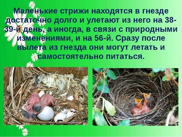 Маленькие стрижи находятся в гнезде достаточно долго и улетают из него на 38-...