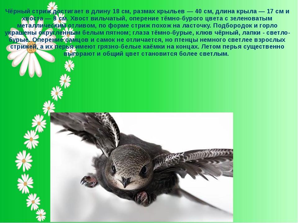 Чёрный стриж достигает в длину 18 см, размах крыльев — 40 см, длина крыла — 1...