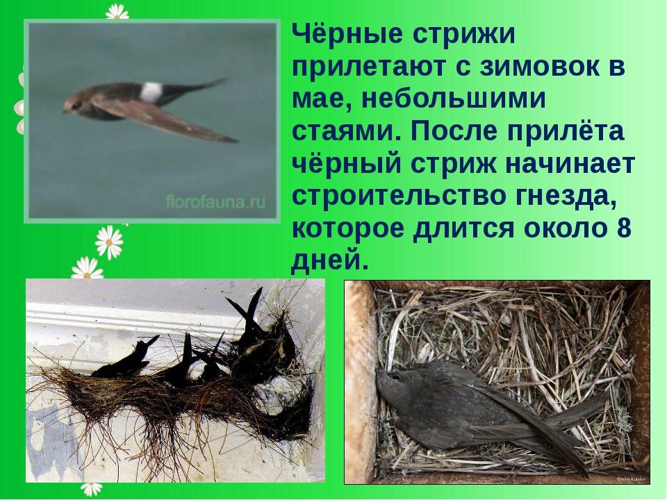 Чёрные стрижи прилетают с зимовок в мае, небольшими стаями. После прилёта чёр...