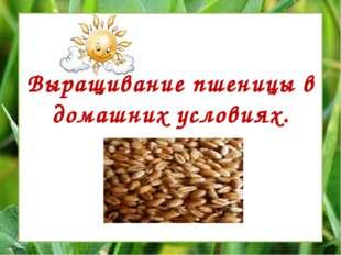 Выращивание пшеницы в домашних условиях.