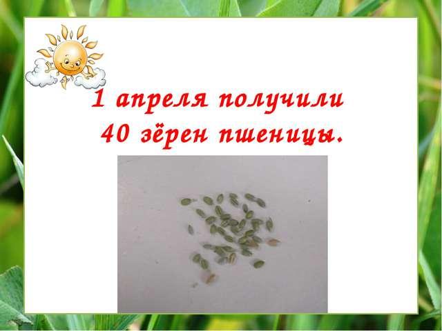 1 апреля получили 40 зёрен пшеницы.