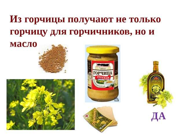 Из горчицы получают не только горчицу для горчичников, но и масло ДА