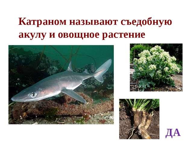 Катраном называют съедобную акулу и овощное растение ДА