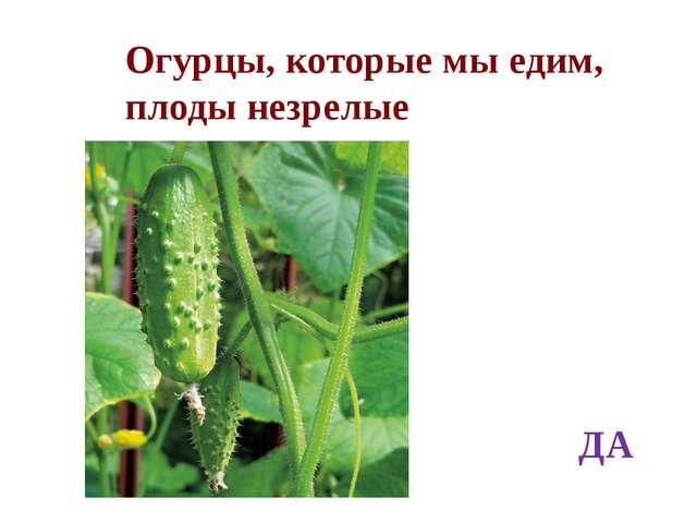 Огурцы, которые мы едим, плоды незрелые ДА