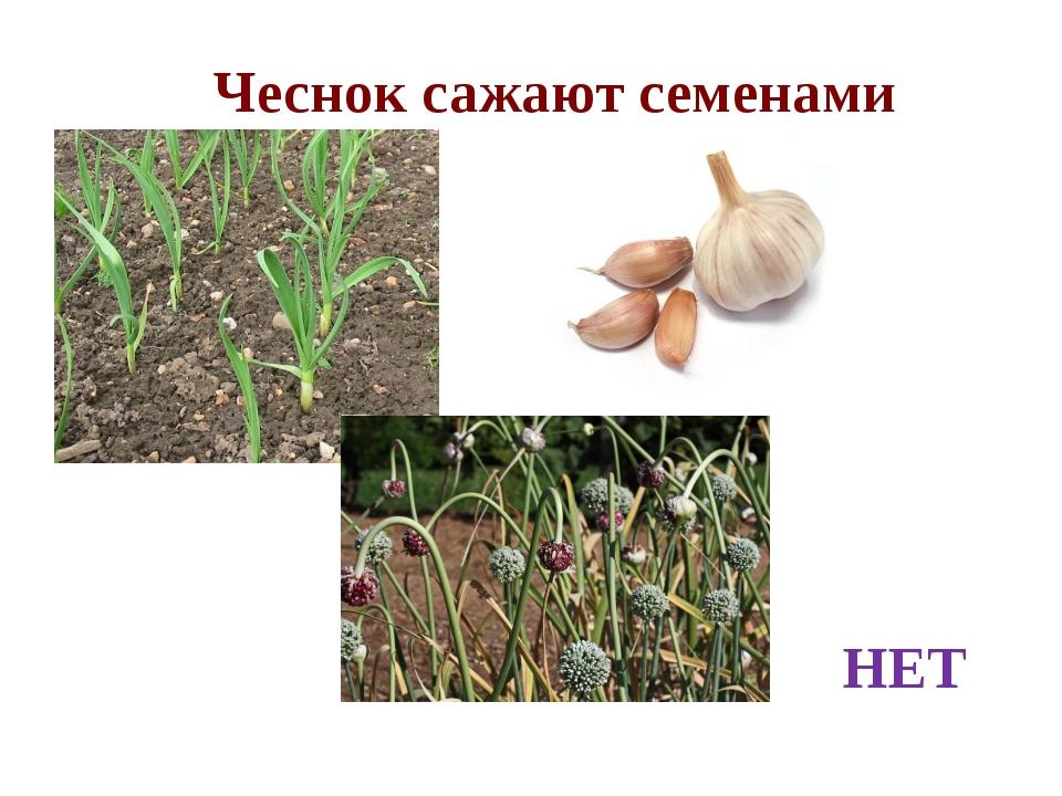 Чеснок сажают семенами НЕТ
