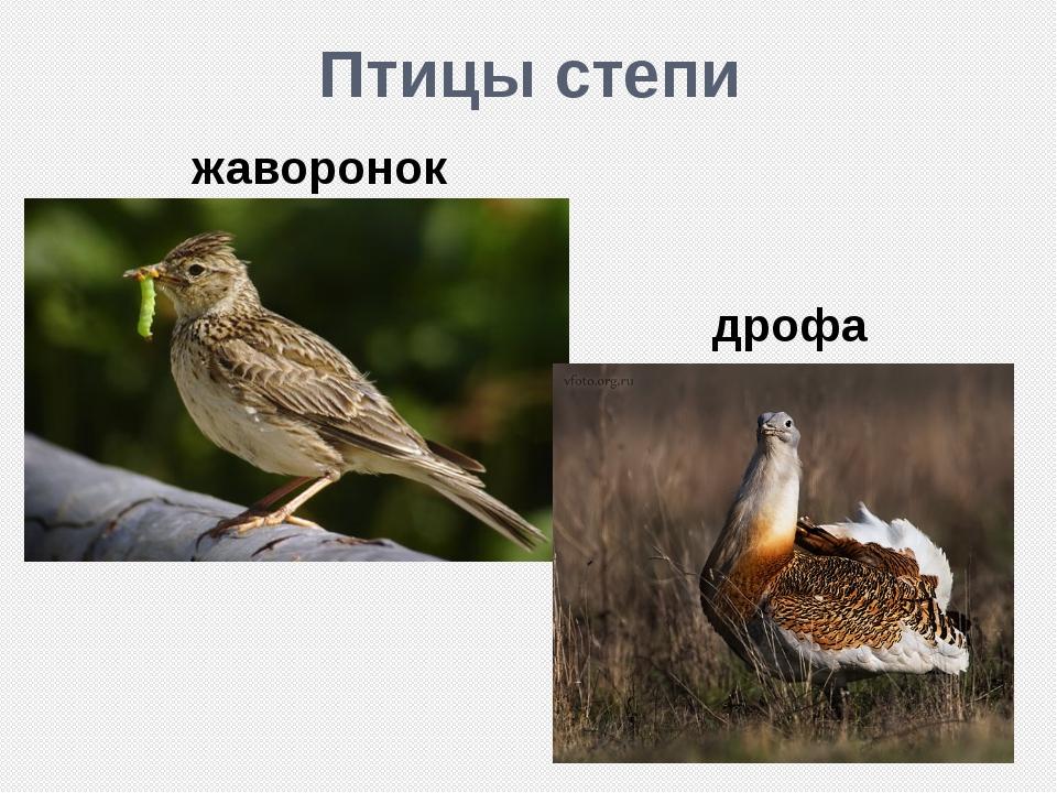 Птицы степи жаворонок дрофа