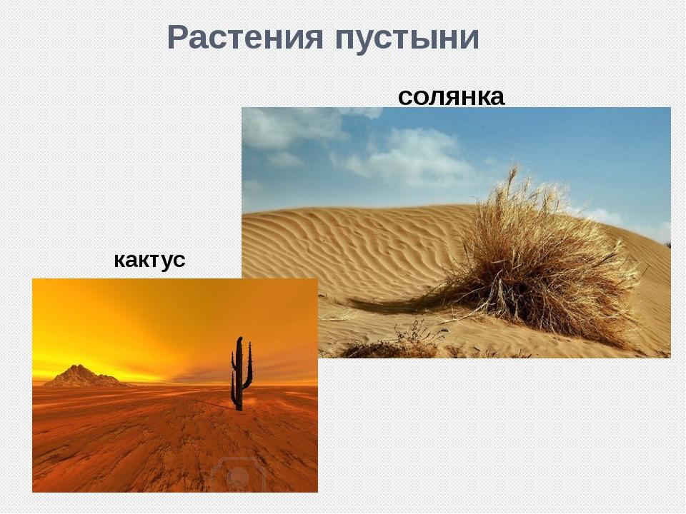 Растения пустыни кактус солянка