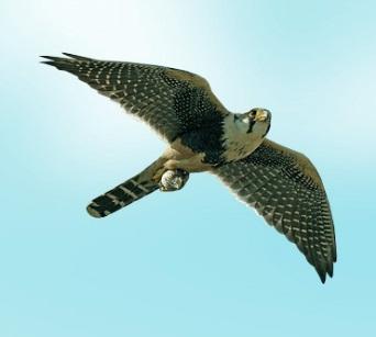 http://www.theanimalworld.ru/img/encycl/birds/big/sokol.jpg