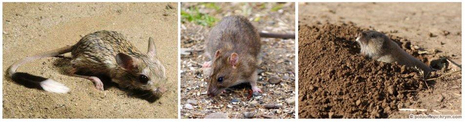 Тушканчик, серая крыса, слепушонка