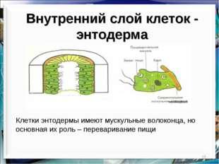 * Внутренний слой клеток - энтодерма Клетки энтодермы имеют мускульные волоко