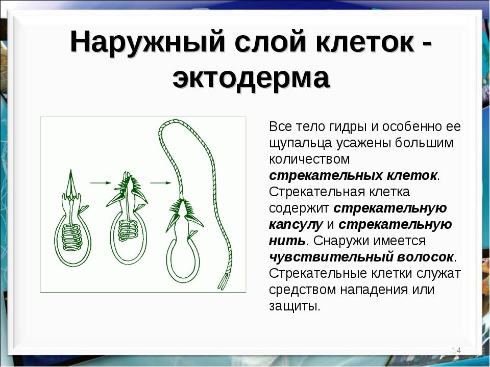 * Наружный слой клеток - эктодерма Все тело гидры и особенно ее щупальца усаж...