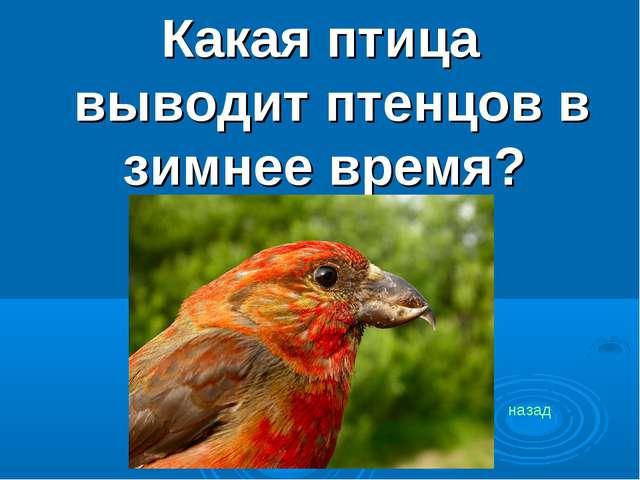 Какая птица выводит птенцов в зимнее время? назад