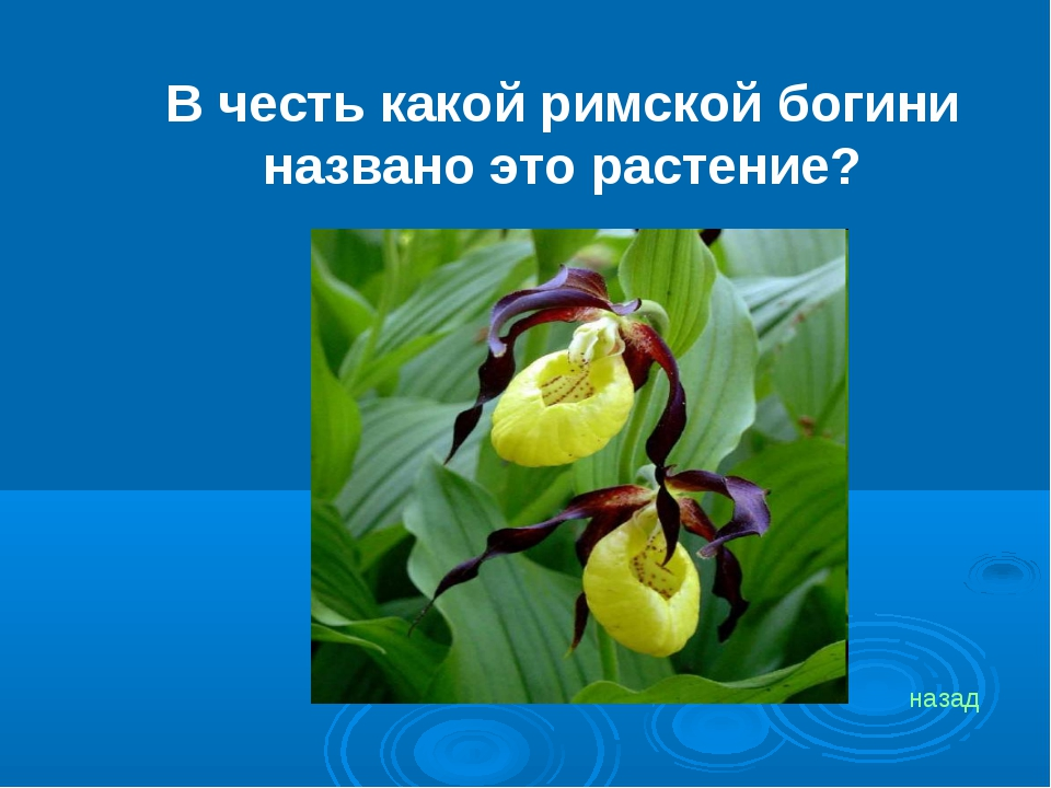 В честь какой римской богини названо это растение? назад