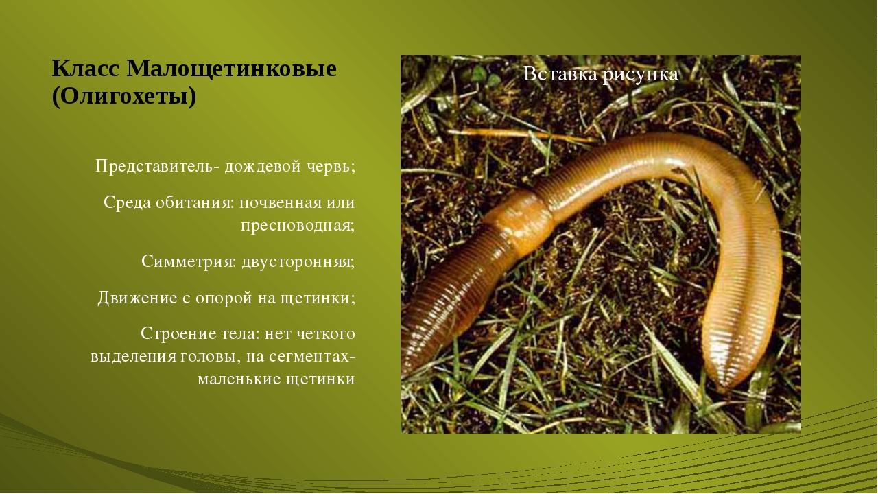 Класс Малощетинковые (Олигохеты) Представитель- дождевой червь; Среда обитани...