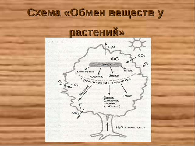 Схема «Обмен веществ у растений»